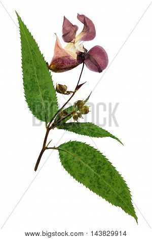 Pressed and dried delicate lilac flowers impatiens glandulifera (Himalayan Balsam). Isolated on white background. For use in scrapbooking pressed floristry (oshibana) or herbarium.