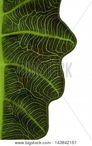 Closeup Leaf of Alocasia x Amazonica/Closeup inside Leaf of Alocasia x Amazonica with partial shape. No background