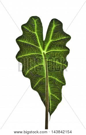Closeup inside Leaf of Alocasia x Amazonica with partial shape. No background