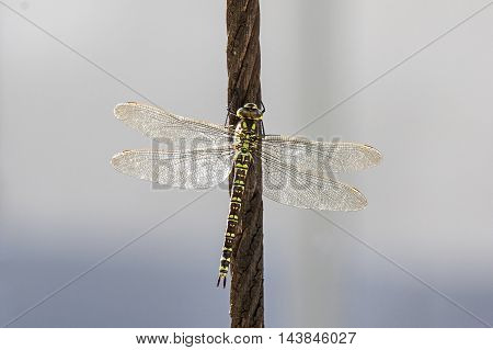 A Green hawker on a steel cable