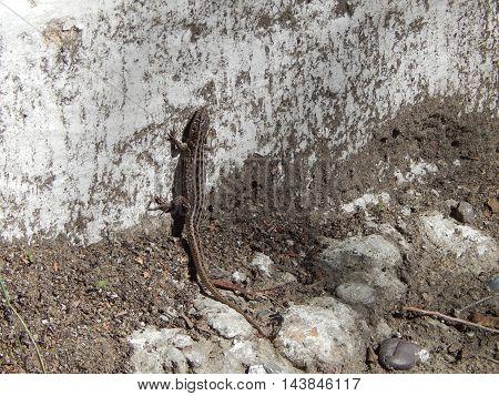 lizard. lizard on a white background. lizard basking in the sun.