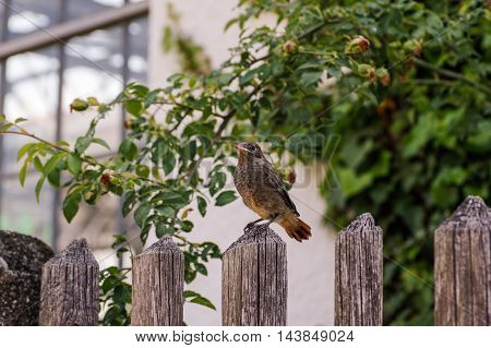 Little Young black redstart on a fence