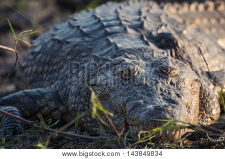 Nile crocodile in the banks of the Chobe river Chobe National Park in Botswana Africa; Concept for safari travel and travel in Africa