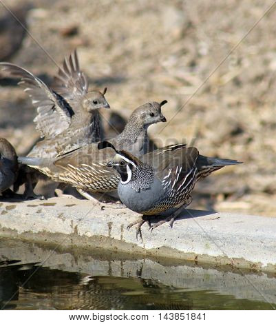California quail birds near water, male and females, wings extended.