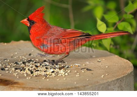 A Very Cute Common Red Bird The Northern Cardinal Male Feeding On Bird Seed Cardinalis cardinalis