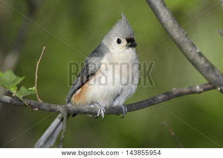 Tufted Titmouse Striking A Curious Pose Parus bicolor