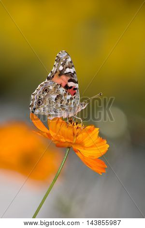 A Butterfly On An Orange Flower The American Painted Lady Vanessa cardui