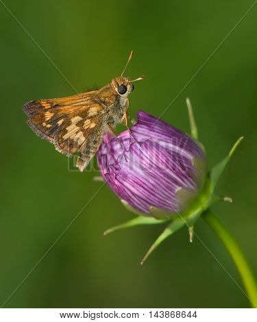 A Tiny Butterfly The Peck's Skipper On A Purple Flower Bud Polites peckius