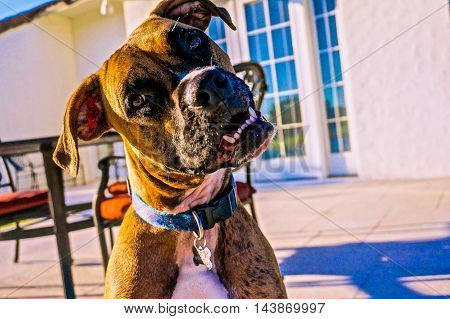 face shot of brown brindle dog tilting head