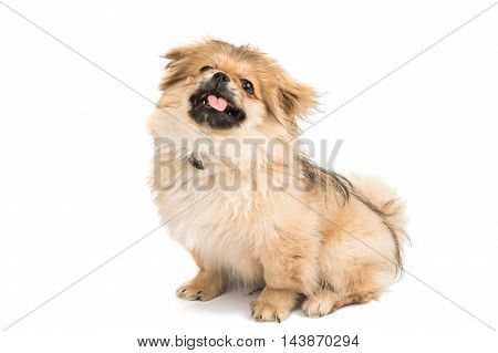 Pekinese small dog portrait on white background
