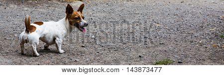 Muscular English Irish Dog Small Wiener Mix