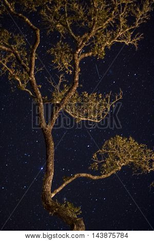 A shooting star passes above the branches of a live oak tree.