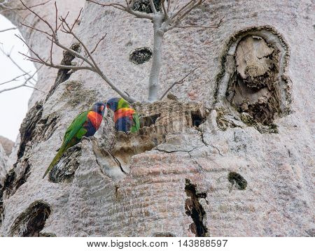 Two vibrant Rainbow Lorikeets in the large Boab Tree at King's Park in Perth, Western Australia.