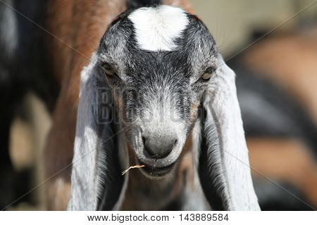 Close up of a long-eared goat's face whilst he is having a munch