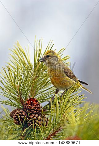 Female Crossbill perched in pine tree looking to collect seeds from the pine cones.