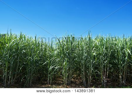 Sugarcane, or sugar cane growing under strong sunlight of clear blue sky.