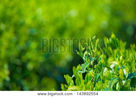 Young and tender green tea leaves tips in spring.