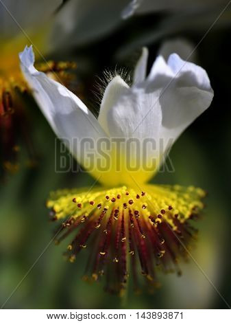 Tilia flower over a booked green background
