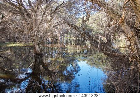 Herdsman Lake landscape with paper bark tree reflections in the wetland waters in Western Australia.