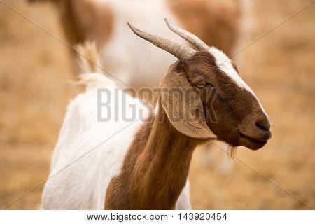 Domestic Goat - Capra aegagrus hircus. Goat portrait in a farmland of northern california.