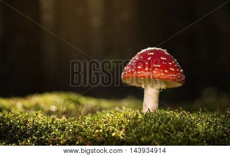 Toadstool close up of a poisonous mushroom in the forest with copy space