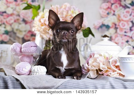 Chihuahua chocolate and sweets