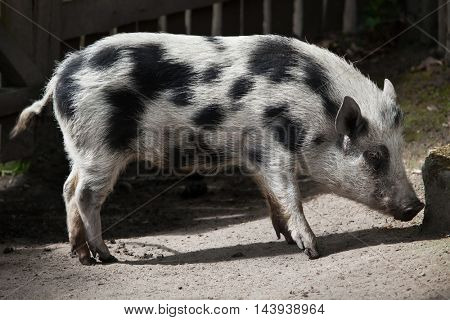 Gottingen minipig (Sus scrofa domesticus). Domestic animal.
