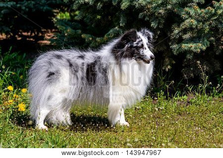 Gray Shetland Sheepdog. The gray Shetland Sheepdog is on the grass.