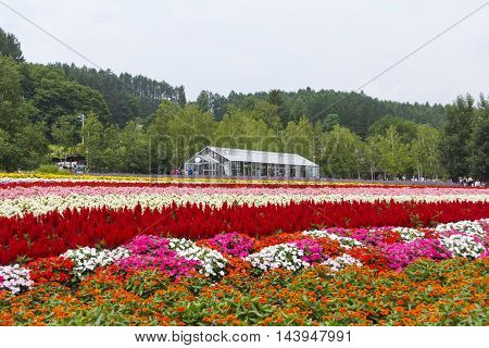FURANO HOKKAIDO JAPAN - JULY 30 2015: Colorful flower fields with glass house and tourists in the background at Tomita farm famous tourist attraction of Furano Hokkaido.