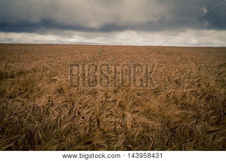 Grain field with ominous clouds in prince edward island