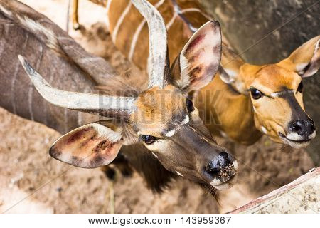The bongo (Tragelaphus eurycerus) is among the largest of the African forest antelope species