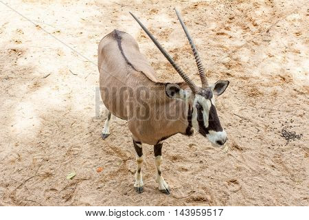 Taxidermy mount of an African Oryx or Gemsbok