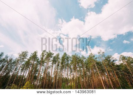 Young Densely Planted Pine Grove Copse Coppice Of Tall Thin Coniferous Evergreen Trees Under Picturesque Scenic Blue Sky With White Lush Clouds, Copyspace Background
