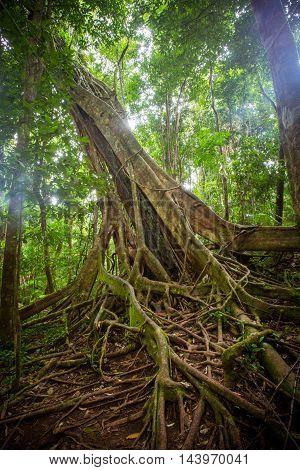 Dense rainforest in Mossman Gorge, Queensland, Australia