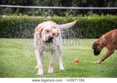 Soaked Labrador Retriever Shaking Off Water