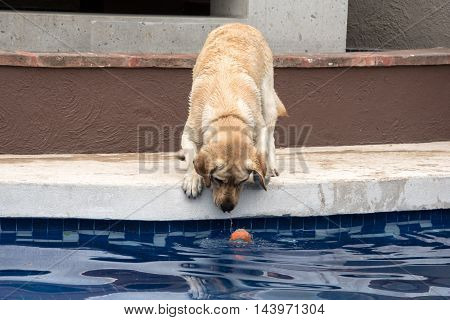 Labrador retreiver playing fetch trying to fish ball out of pool