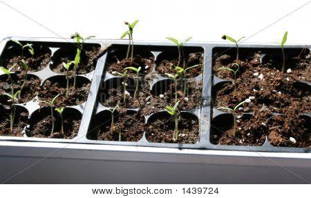 Seedlingsb