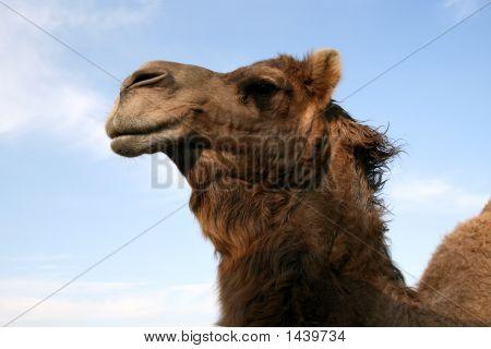 I'D Walk A Mile For A Camel