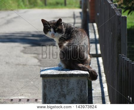 Black and white Domestic cat domesticated housecat aka Felis catus or Felis silvestris mammal animal