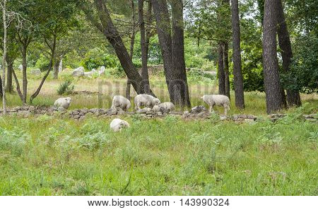 forest scenery including a flock of sheep around Carnac a commune in the Morbihan department of Brittany France