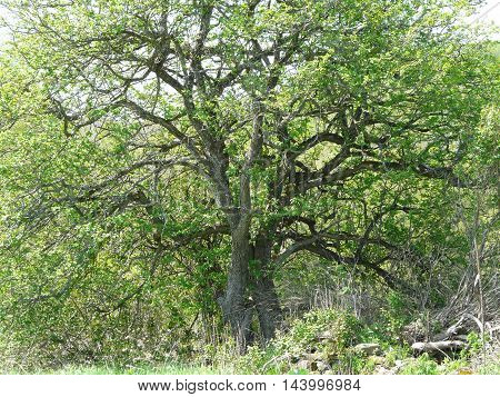 big old tree with many sprouting limbs and green leaves