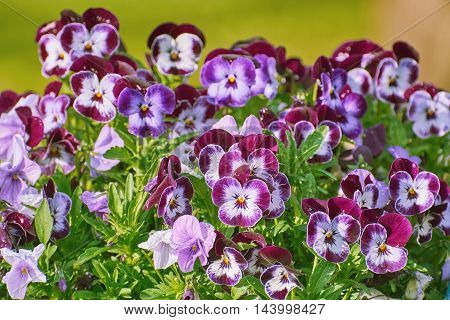 Garden Pansy Flowers (Viola Tricolor Var. Hortensis)
