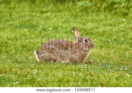 Brown Hare Resting on the Green Grass