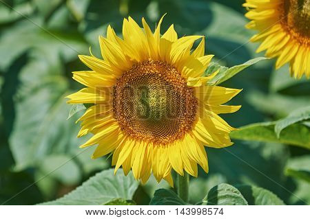 Yellow Sunflower against the Green Leaves Background