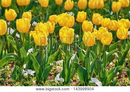 The Flower Bed of Yellow Tulip Flowers