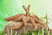 Tapioca Plants Cassava Cassava on the floor poster