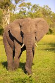 Large elephant bull (Loxodonta africana) standing in the nature reserve in South Africa poster