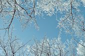 Winter frosty tree tops. Winter background - frosty branches of the winter trees against blue sky. Winter landscape with winter tree tops extending to the sky. poster