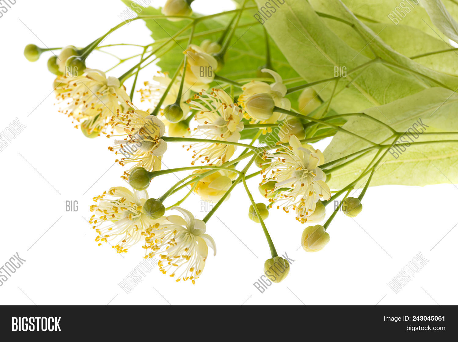 Linden Flowers (tilia Cordata) Isolated On A White Background