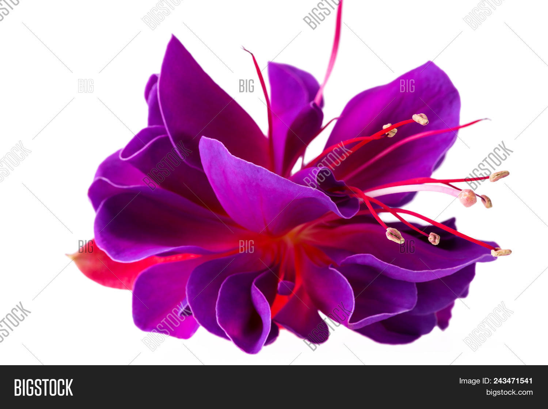 Single Flower Fuchsia Image Photo Free Trial Bigstock
